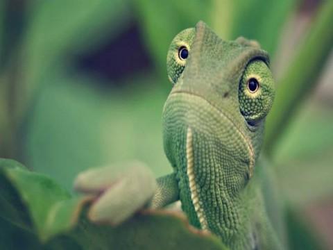 Visão de camaleões pode ajudar a aprimorar câmeras de segurança
